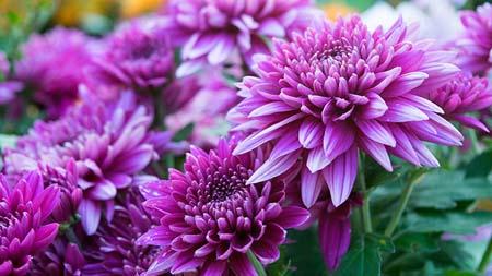 Nguồn gốc và ý nghĩa hoa cúc